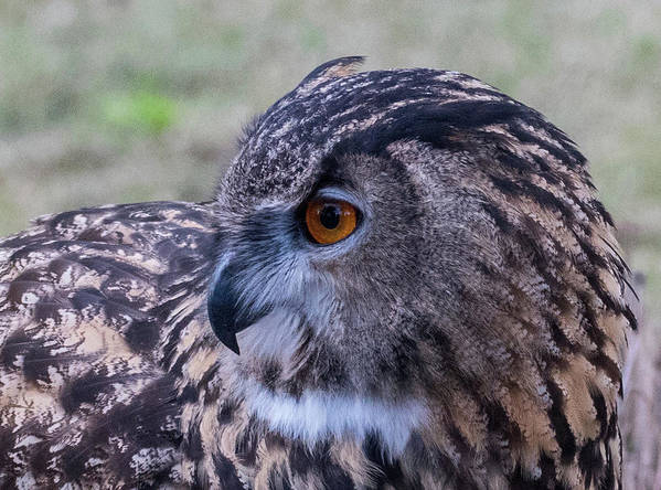 Eurasian Poster featuring the photograph Eurasian Eagle Owl by Andrew Lelea