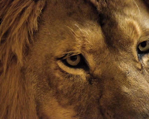 Lion Poster featuring the photograph Eyes Of The Lion Color by Matt Steffen