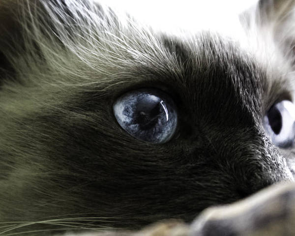Cat Poster featuring the photograph Eyes On You by Costantinescu Andrei