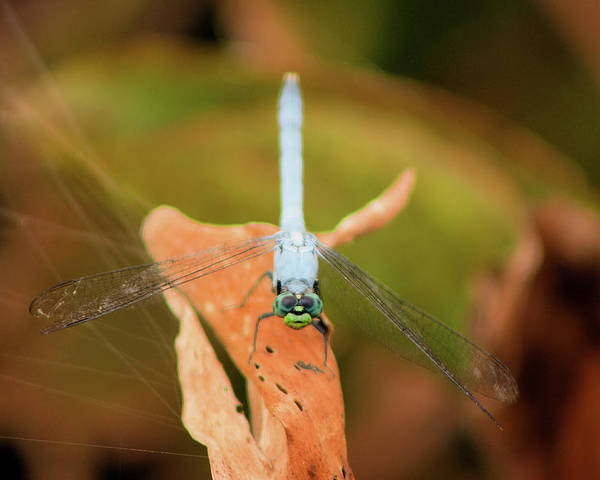 Dragonfly Poster featuring the photograph Face Of The Dragon by Karl Ford