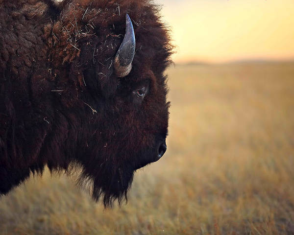 Buffalo Poster featuring the photograph Face The Day by Deborah Johnson