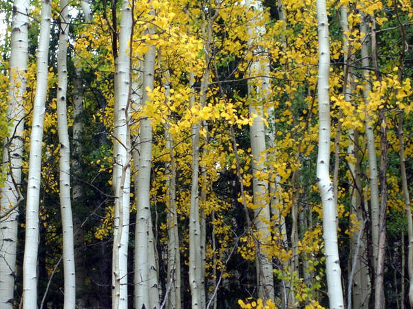 Colorado Poster featuring the photograph Fall Aspens by Allison Jones
