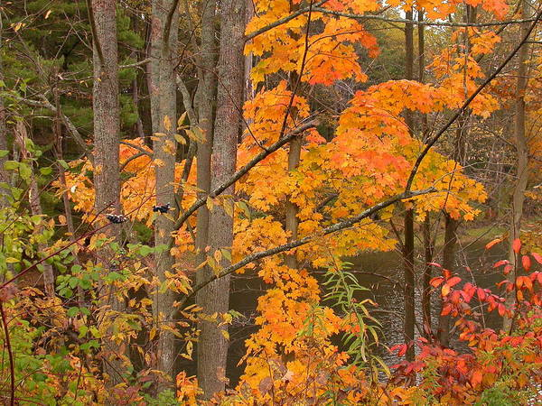 Fall Poster featuring the photograph Fall Color by Raju Alagawadi