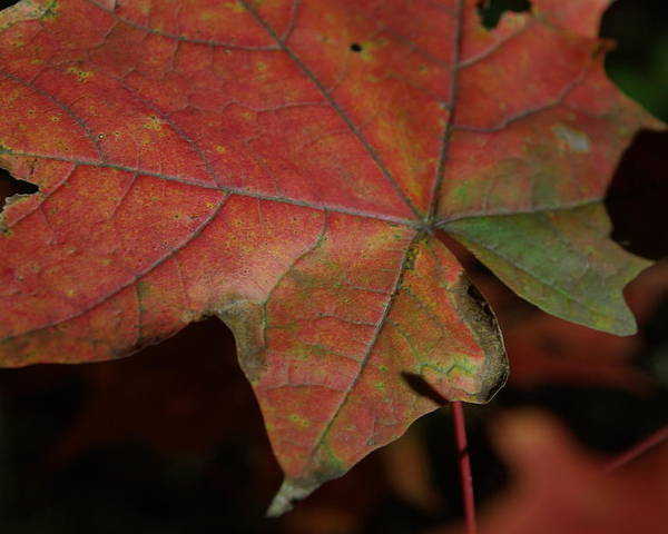 Fall Poster featuring the photograph Fall Leaves 1 by Eric Workman
