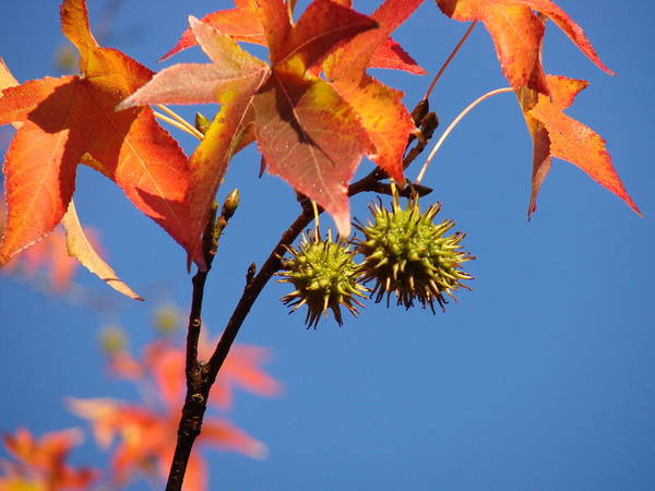 Autum Leaves Poster featuring the photograph Fall Leaves by Liz Vernand