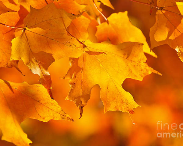 Fall Poster featuring the photograph Fall Maple Leaves by Elena Elisseeva