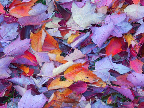 Poster featuring the photograph Fall Purples by Karin Dawn Kelshall- Best
