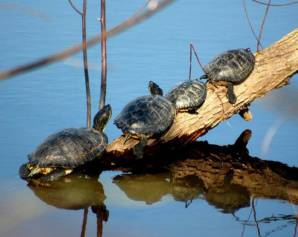 Turtles Poster featuring the photograph Family Of Turtles by Bob Guthridge