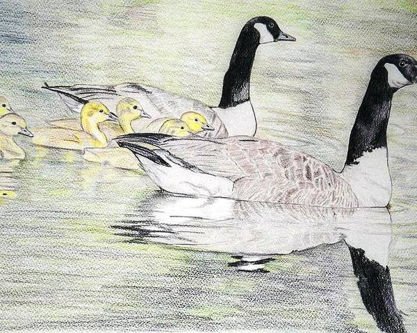 Canadian Geese Poster featuring the drawing Family Outing by Debra Sandstrom