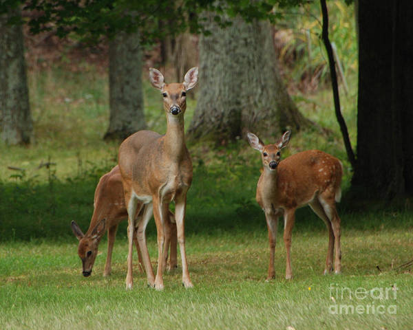 Deer Poster featuring the photograph Family Walk by Grace Grogan