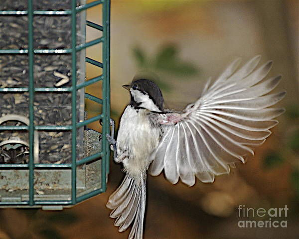 Chickadee In Flight Poster featuring the photograph Fan Dance by Faith Harron Boudreau