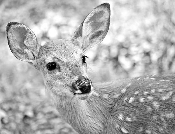Deer Poster featuring the photograph Fawn 1 by Shelley Wilson