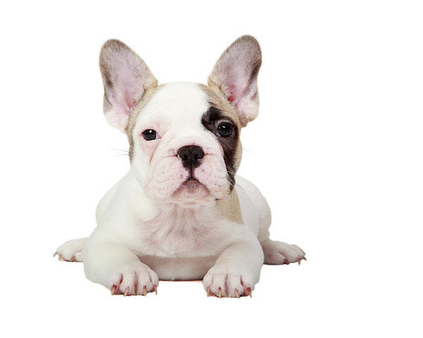 Horizontal Poster featuring the photograph Fawn Pied French Bulldog Puppy by Mlorenzphotography