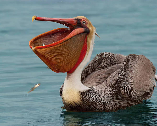 California Brown Pelican Poster featuring the photograph Feasting Brown Pelican by Ram Vasudev