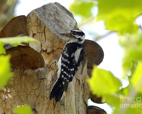 Downy Woodpecker Poster featuring the photograph Feeding Time by David Lee Thompson