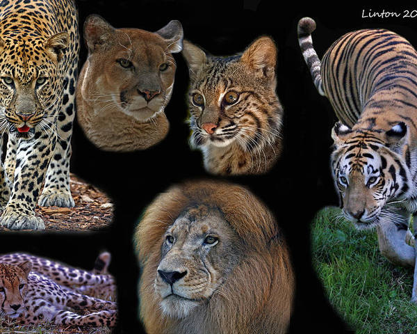 Feline Poster featuring the photograph Feline Montage by Larry Linton
