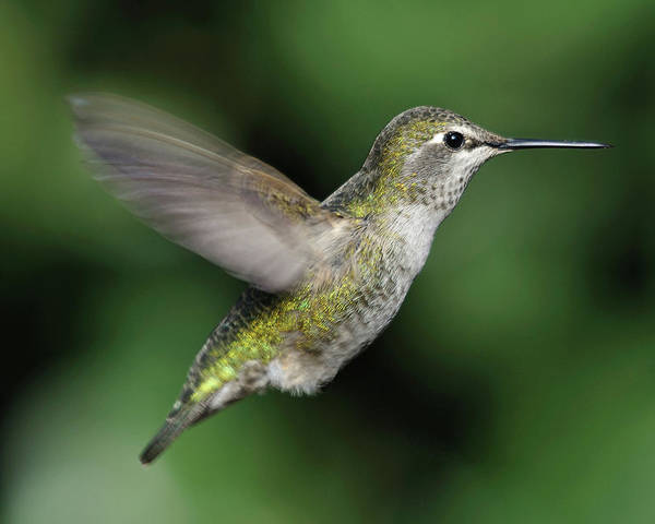 Horizontal Poster featuring the photograph Female Anna's Hummingbird In Flight by Barbara Rich