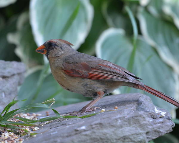 Cardinal Poster featuring the photograph Female Northern Cardinal by Shelley Smith