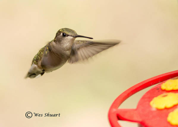 Hummingbird Poster featuring the photograph Female Ruby-throated Hummingbird by Wesley Shuart
