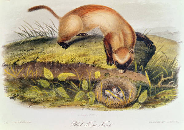 Black-footed Ferret From Quadrupeds Of North America (1842-5) By John James Audubon (1785-1851) Poster featuring the painting Ferret by John James Audubon