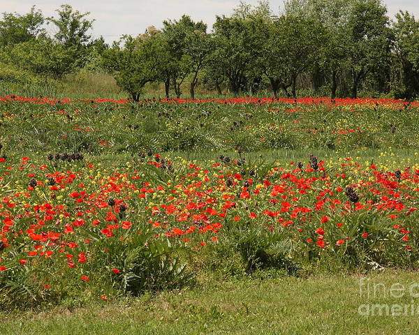 Flowers Poster featuring the photograph Field Of Poppies On Torcello In Venice by Michael Henderson