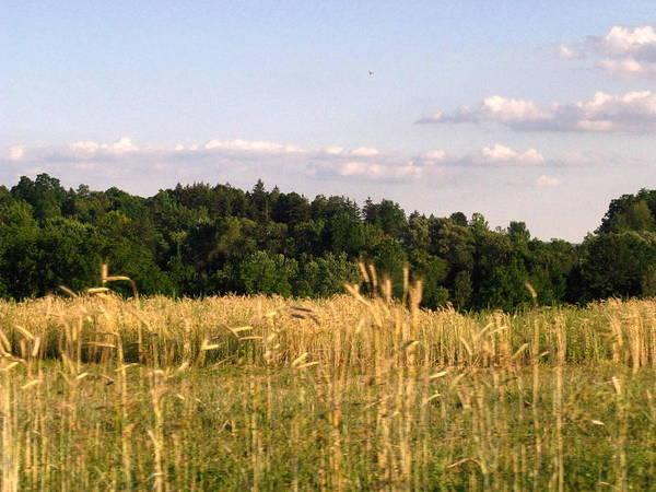 Field Poster featuring the photograph Fields Of Grain by Rhonda Barrett