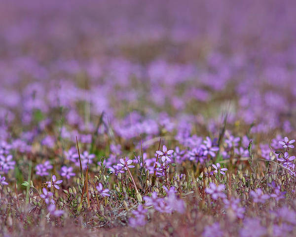 Wildflower Poster featuring the photograph Filaree Storksbill Erodium Cicutarium by Rick Mosher