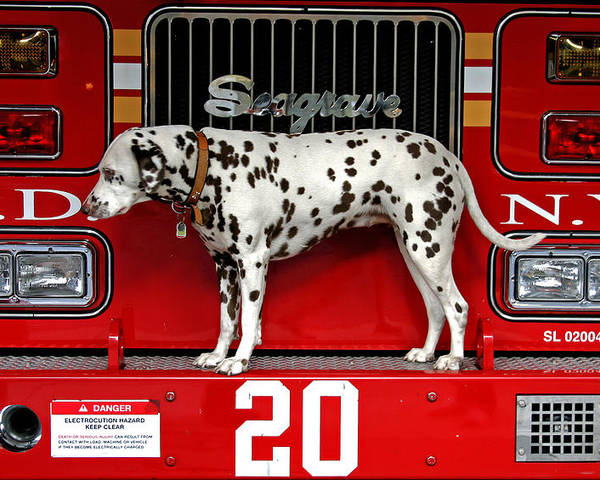 Dalmation Poster featuring the photograph Fire Dog by Bryan Hochman