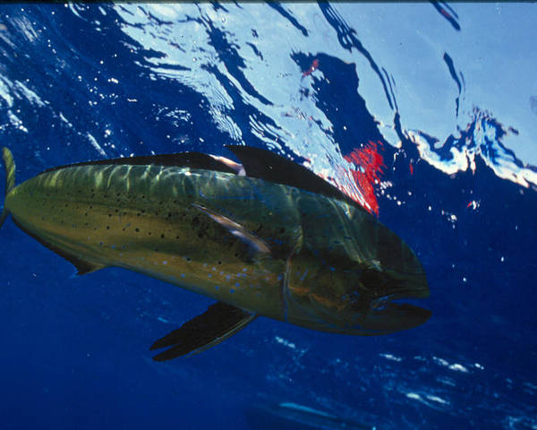 Ocean Poster featuring the photograph Fish by Jim Derks