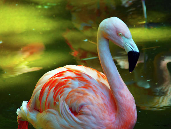 Poster featuring the photograph Flamingo by Brian Sloan