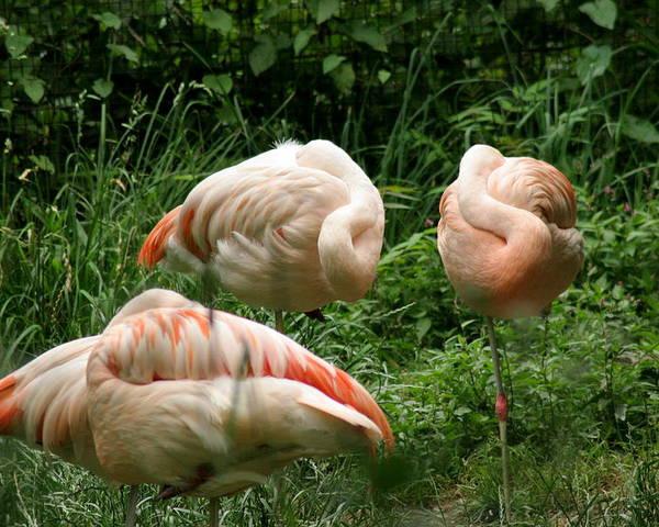 Bird Poster featuring the photograph Flamingo's At Rest by ShadowWalker RavenEyes Dibler