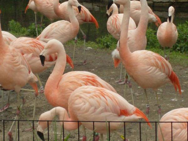 Birds Poster featuring the photograph Flamingos by Doris Giardini