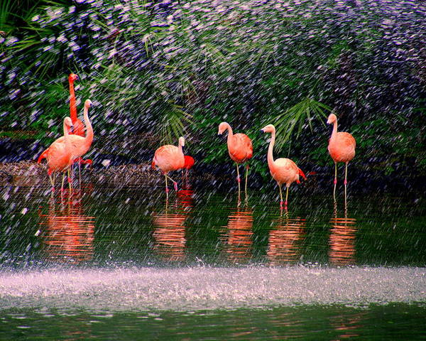 Flamingos Poster featuring the photograph Flamingos II by Susanne Van Hulst