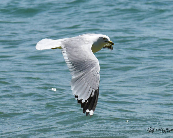 Ring Billed Sea Gull Poster featuring the photograph Floating Above the Water by Sally Sperry