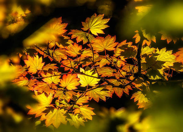 Fall Leaves Poster featuring the photograph Floating Leaves by Claudia Abbott