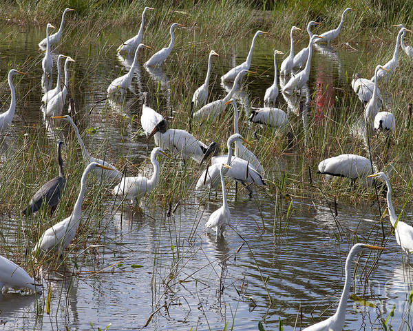 Everglades Poster featuring the photograph Flock Of Different Types Of Wading Birds by Anthony Totah