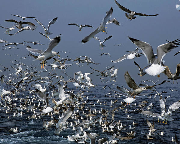 Chaos Poster featuring the photograph Flock Of Seagulls In The Sea And In Flight by Sami Sarkis