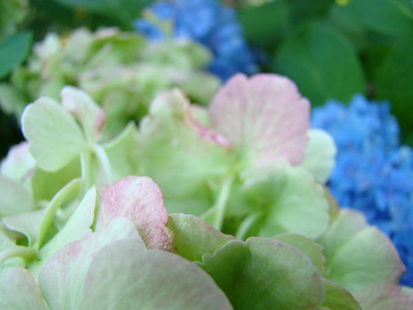 Hydrangea Poster featuring the photograph Floral Artwork Hydrangea Flowers Soft Nature Giclee Baslee Troutman by Baslee Troutman