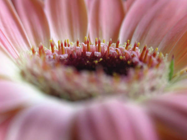 Gerber Daisy Poster featuring the photograph Floral Birthday Cake by Juergen Roth