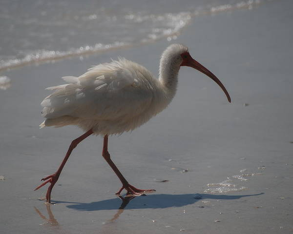 Ibis Poster featuring the photograph Florida Ibis 3 by Lisa Gabrius