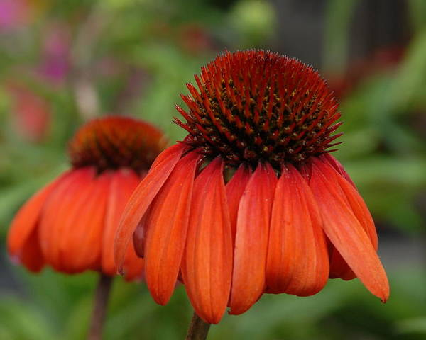 Cone Cone Flower Poster featuring the photograph Flowers 729 by Joyce StJames