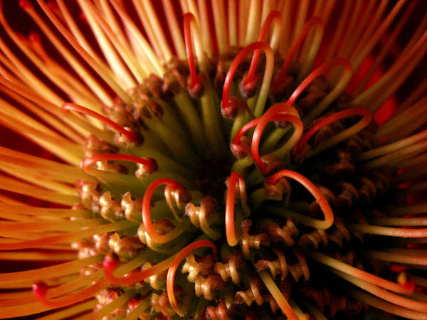 Protea Poster featuring the photograph Flower Hawaiian Protea by Nancy Griswold