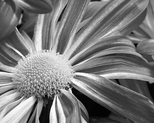 Black And White Photography Poster featuring the photograph Flower Run Through It Black And White by James BO Insogna