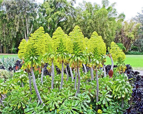 Flowering Green Aeonium In Huntington Desert Garden In San Marino ...
