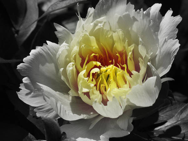 Flowering Poster featuring the photograph Flowering Peony In The Night Garden by Garth Glazier
