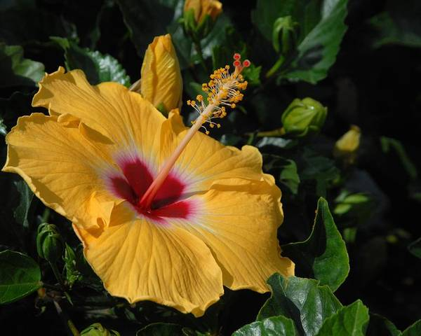 Hibiscus Flower Poster featuring the photograph Flowers 727 by Joyce StJames