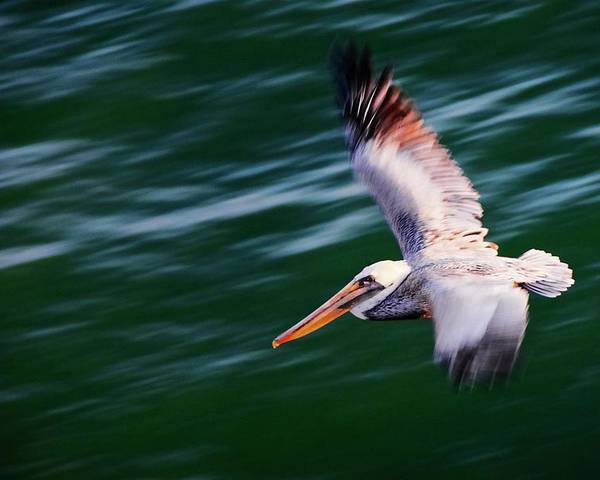 Pelican Poster featuring the photograph Flyby, California Brown Pelican by Zayne Diamond Photographic