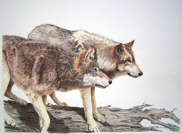 Animals Poster featuring the drawing Focus by Susan Moyer