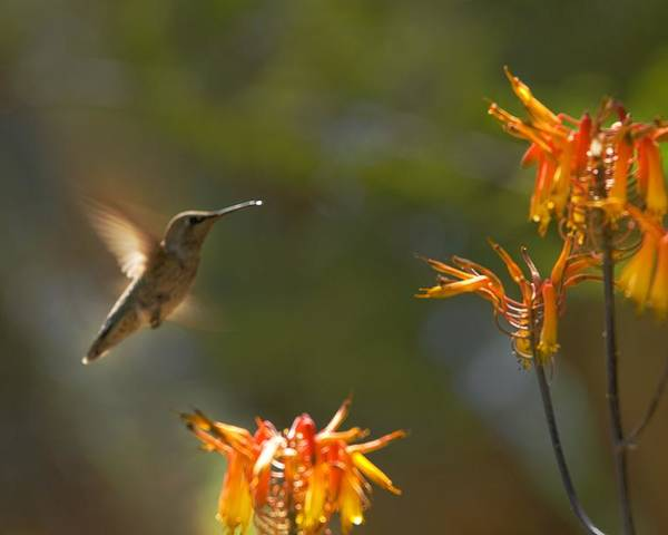 Hummingbird Poster featuring the photograph Food for Flyers by Richard Henne
