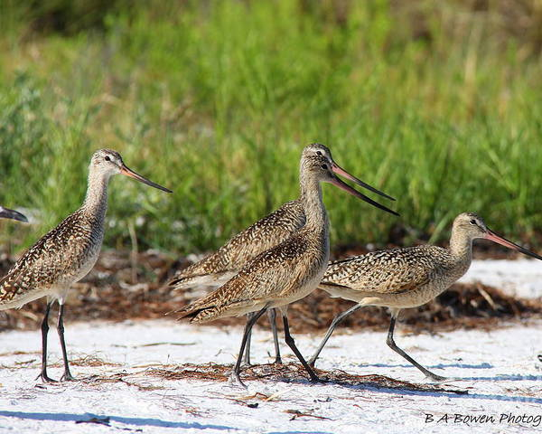 Marbled Godwit Poster featuring the photograph Four Marbled Godwits by Barbara Bowen